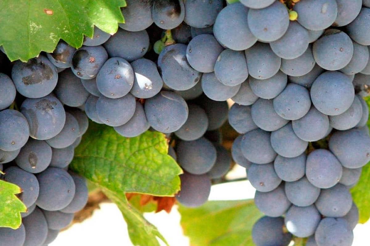 Carménère, a uva francesa que renasceu no Chile